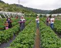 Çiftçiye 3 milyon adet çilek fidesi