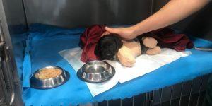Bacakları Ve kuyruğu Kesilmiş Halde Bulunan Köpek Soruşturmasında İlk Gözaltı