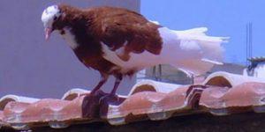 Güvercin Uçururken Çatıdan Düşüp Öldü